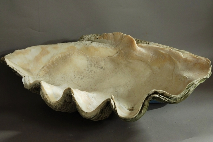 Large giant clam shell