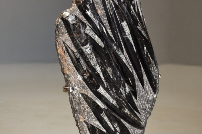 Polished Orthoceras fossil