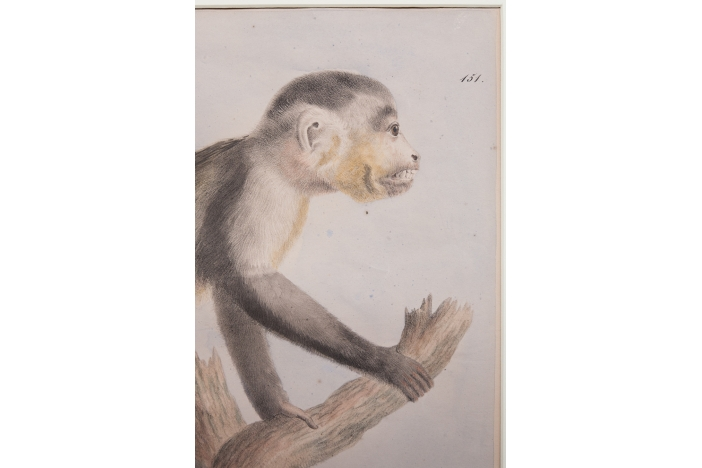 Capuchin Monkey Engraving