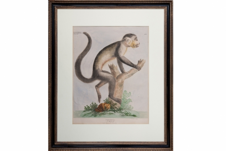 Capuchin Monkey Engraving